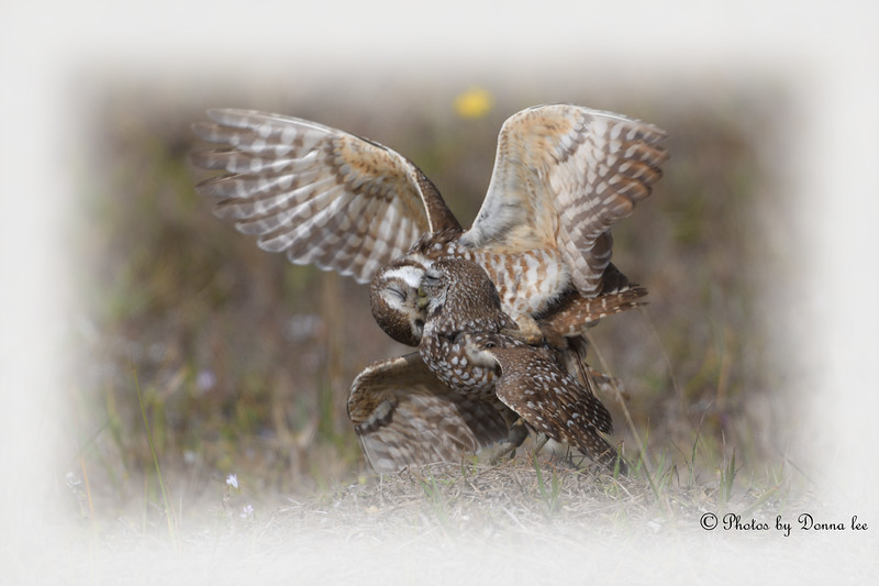 Burrowing Owls, How about a kiss baby