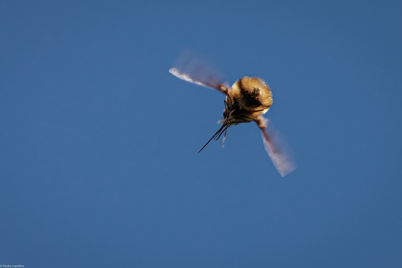 Bee Fly and Blue Sky