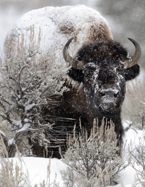 . A bison pulls his head out of the snow while searching for grass to eat in Yellowstone. PHOTO:Will Lester