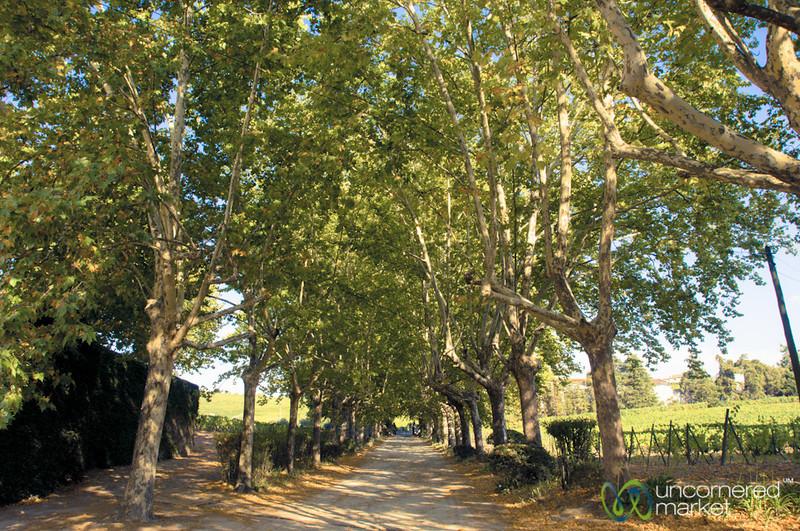 Quinta de Pacheca, Tree-Lined Road - Douro Valley, Portugal