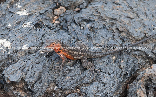"Wildlife, landforms & landscapes of the Galapagos <br /> Lava Lizard. There are seven different species of Tropidurus, lava lizards, found in the Galápagos.<br /> Islands.Photos, prints & downloads SEE ALSO:  <a href=""http://www.blurb.com/b/3551540-galapagos-islands"">http://www.blurb.com/b/3551540-galapagos-islands</a>"