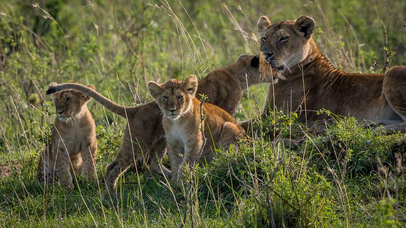 Lions-0135-2.jpg