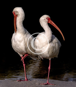 Ibis-Glossy and American White