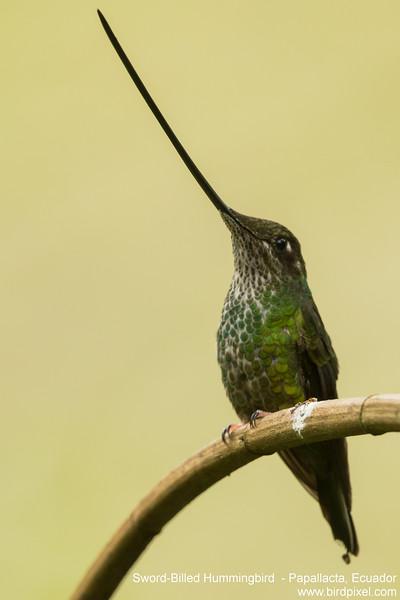Sword-Billed Hummingbird  - Papallacta, Ecuador