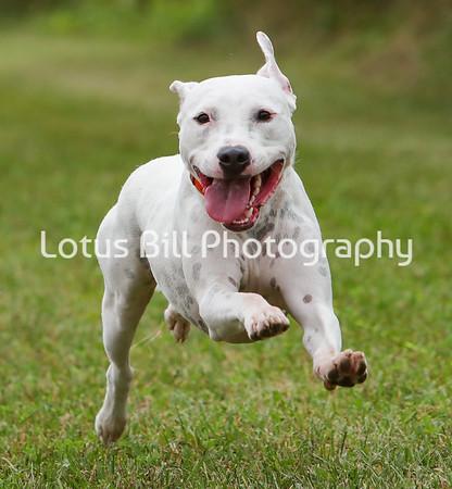 American Staffordshire Terrier 2 SR2