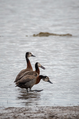 Whistling-Duck, White-faced (monotypic)