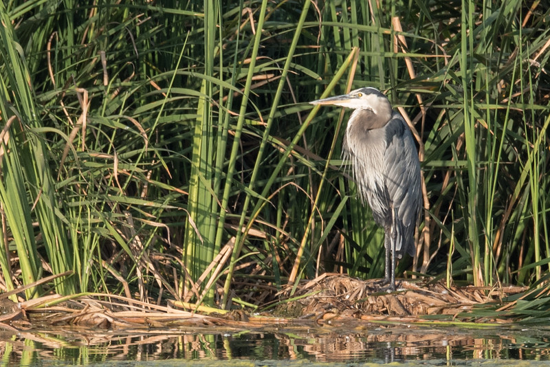 Great Blue Heron at rest.