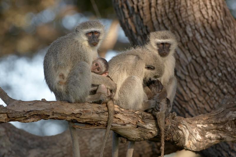 Vervet Monkey - 0635.jpg