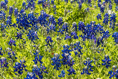 Close up of bluebonnet wildflowers