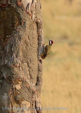 Bennettspecht; Bennett's woodpecker; Campethera bennettii; Bennettse speg; Pic de Bennett; Bennetts specht