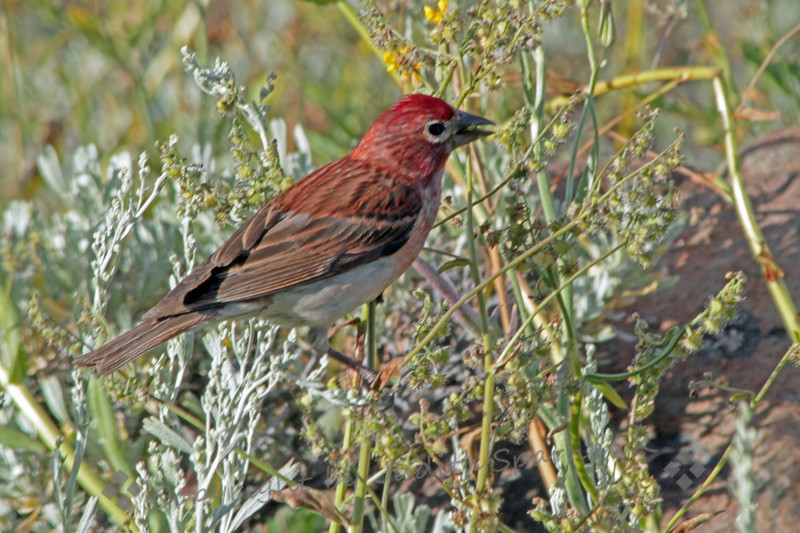 Cassin's Finch ~ This high elevation finch was photographed at Minaret Vista, out of Mammoth Lakes.