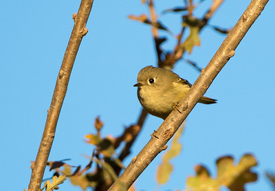 Ruby-crowned Kinglet (<em>Regulus calendula</em>)