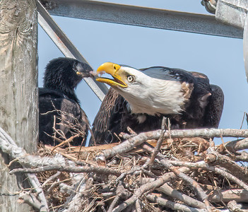 Bald Eagle BE994 - March 28 & 29, 2021