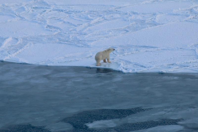 Polar Bear near open water on Hudson Bay