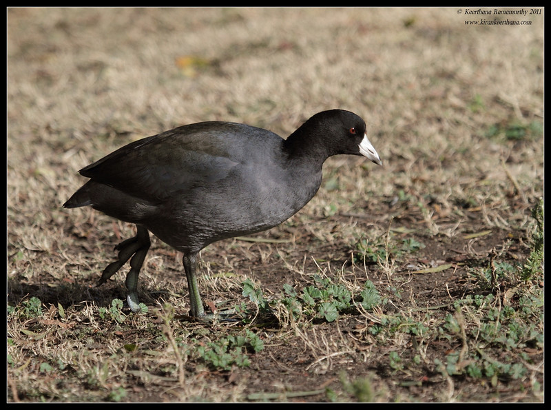 American Coot, Lindo Lake, San Diego County, California, November 2011