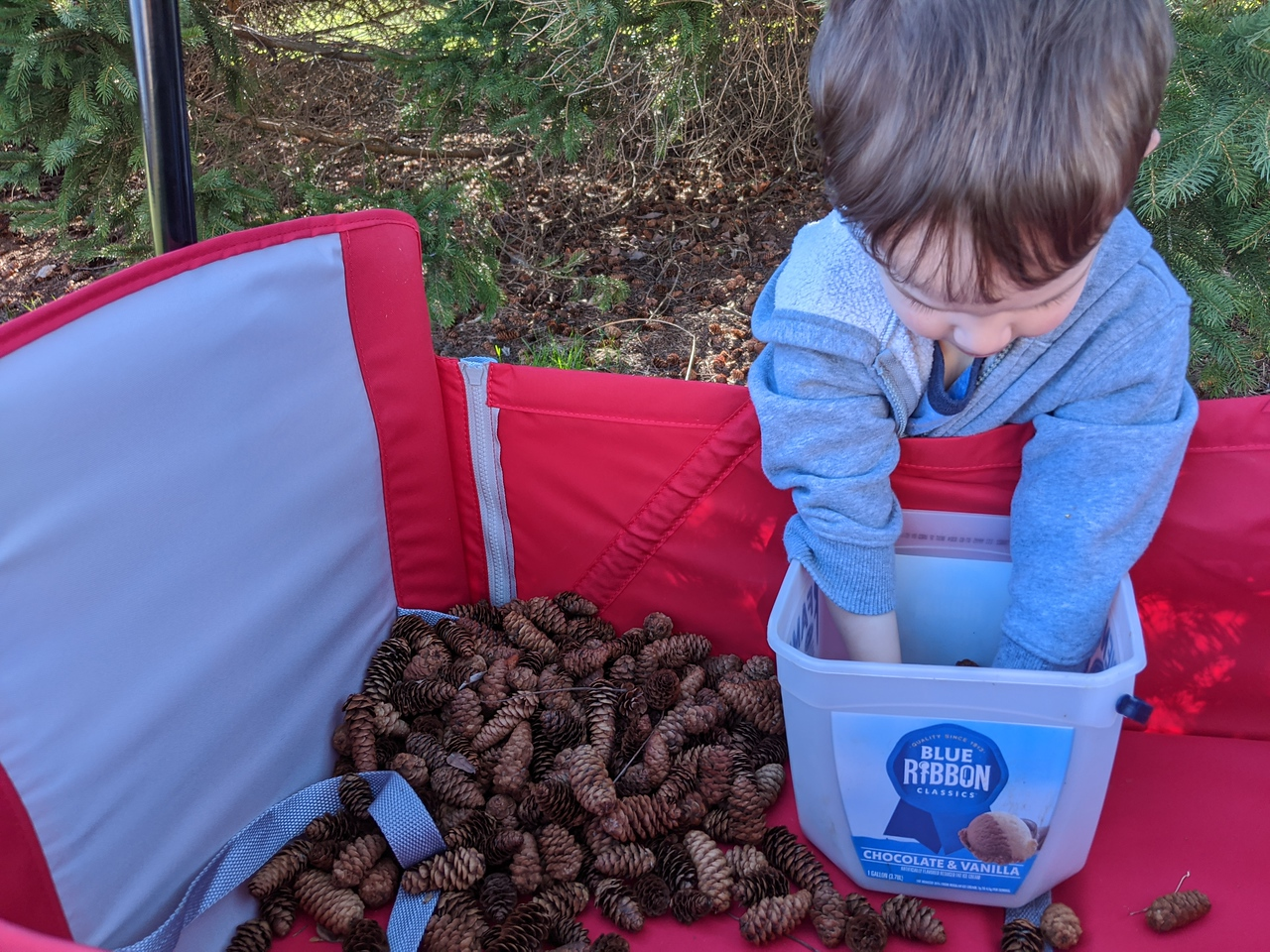 Collecting pine cones in our yard, March 25, 2020