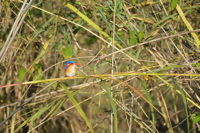 Malachite Kingfisher, Okavango River Near Shakawe, Botswana