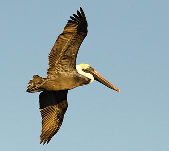 Pelicans 1-6-12