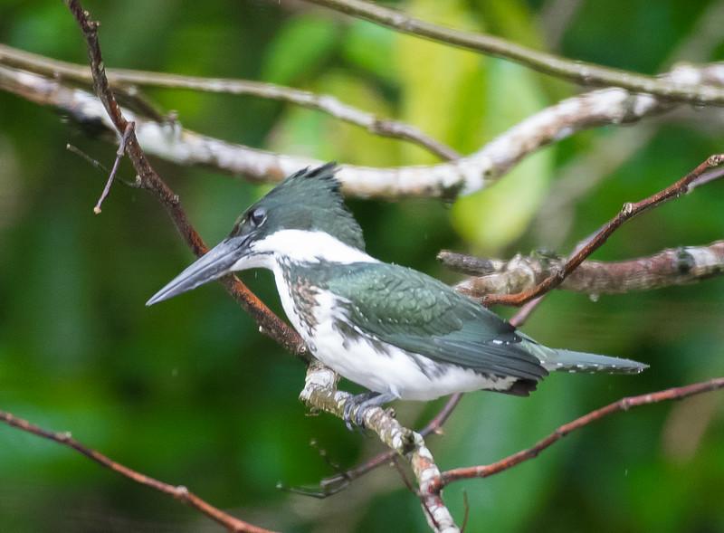 19-Sept Costa Rica Birds-2970.JPG