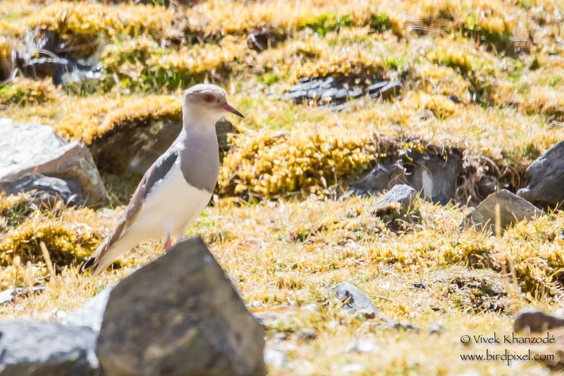 Andean Lapwing - Record - Highlands above Ollantaytambo, Peru