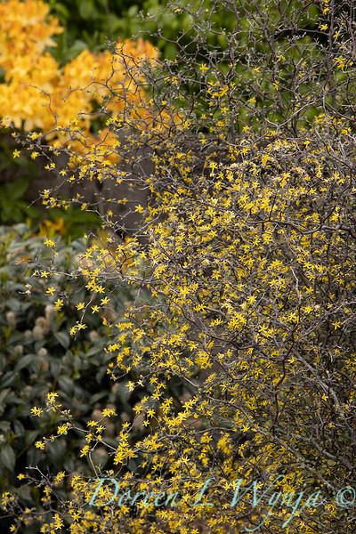 Corokia cotoneaster blooming_1344.jpg