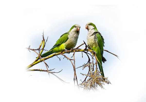 Misc Birds