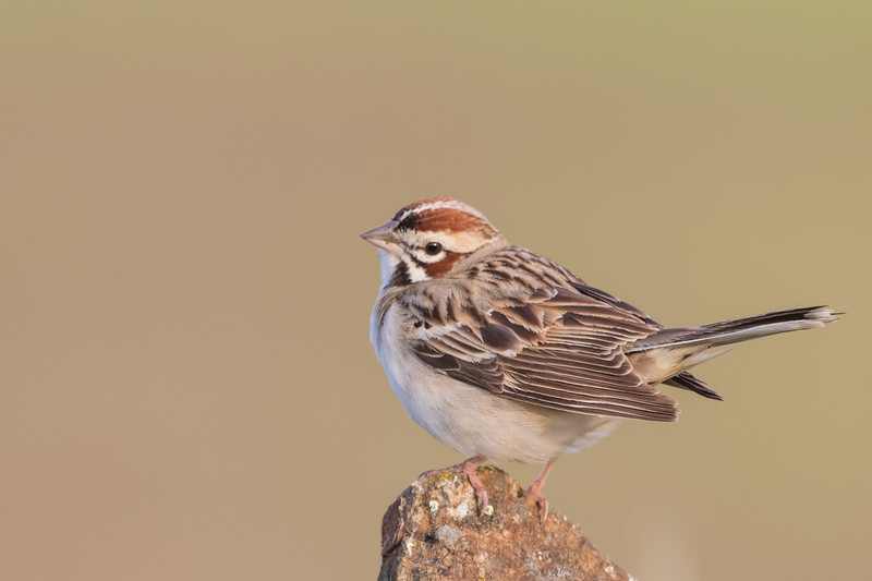 Lark Sparrow - San Jose, CA, USA