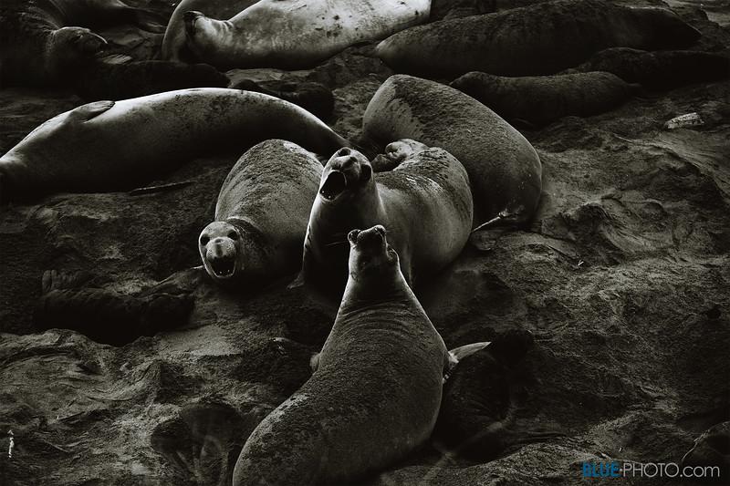 Elephant-Seals-BW-2.jpg