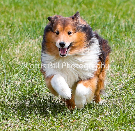 Sheetland Sheepdog 2 DH