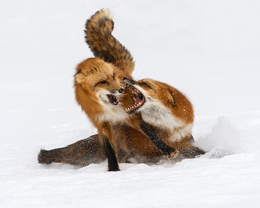 Fierce Fox Fun - Pam Holmes
