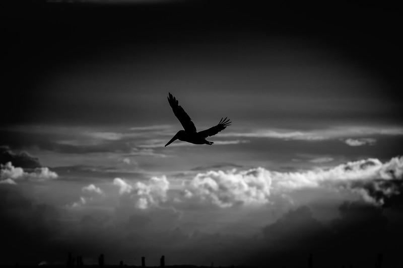 Pelican sihouette 090718 (1 of 1).jpg
