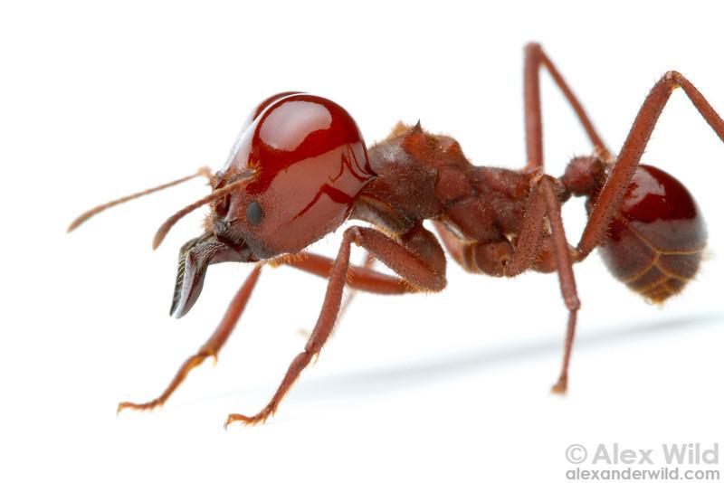 Portrait of an Atta laevigata leafcutter ant soldier.  Carrancas, Minas Gerais, Brazil