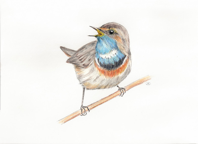 Bluethroat_cleaned2.jpg