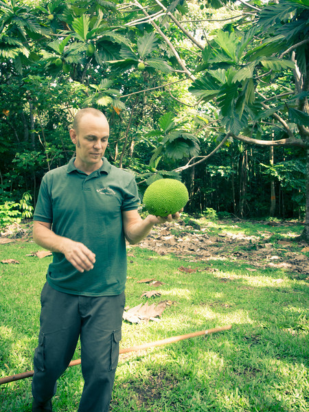 breadfruit trees ian.jpg