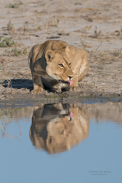 African Lion, Savuti, Chobe NP, Botswana, May 2017-3.jpg