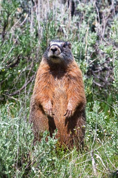 Marmot 0709.jpg