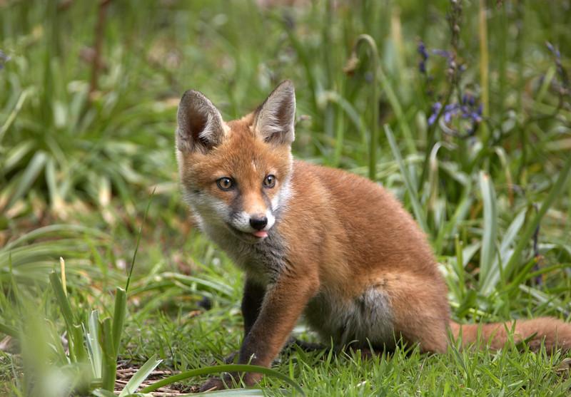 Fox Cub - 0423.jpg