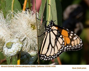 MonarchButterfly14599.jpg