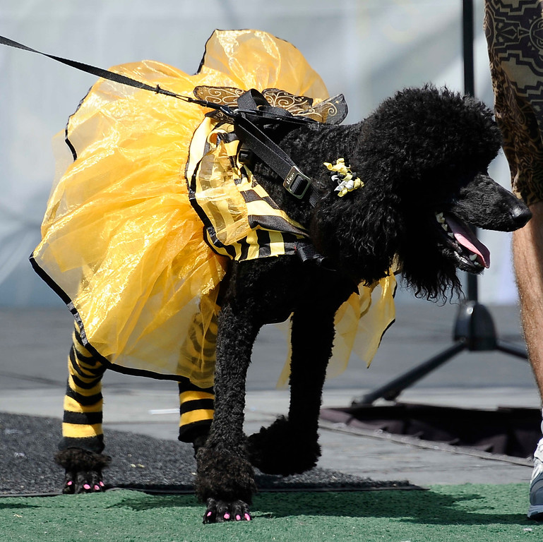 . April 21,2013. Calabasas.  Cleopatra took first place in the fashion contest during the Canine Classic Dog Walk & Festival at Juan Bautista de Anza Park.  Photo by Gene Blevins/LA Daily News