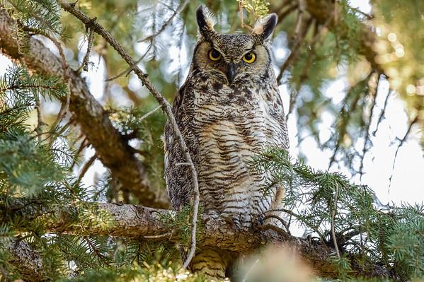 5-15-16 Great Horned Owl Family (New)