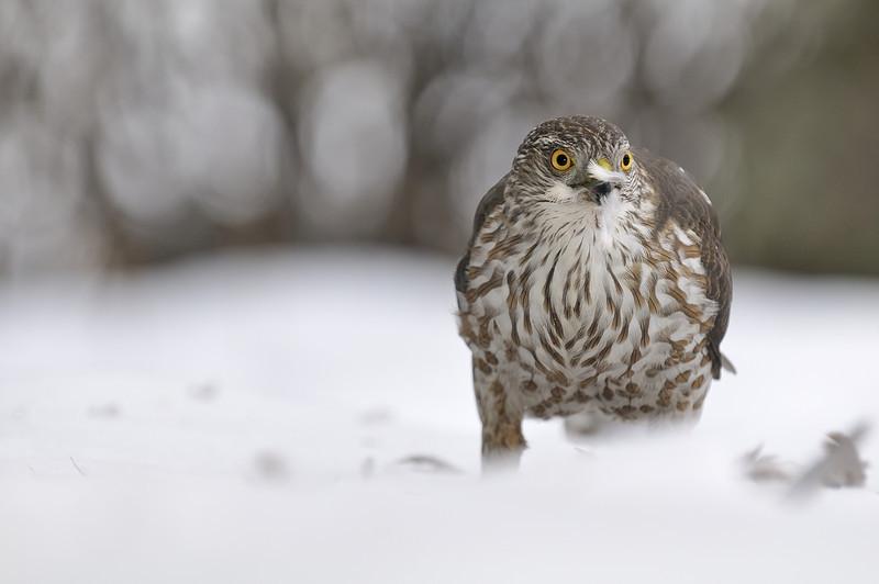 Varennes, Qc, Canada: Epervier brun  juvénile / juvenile Sharp-shinned Hawk.( Accipiter striatus )