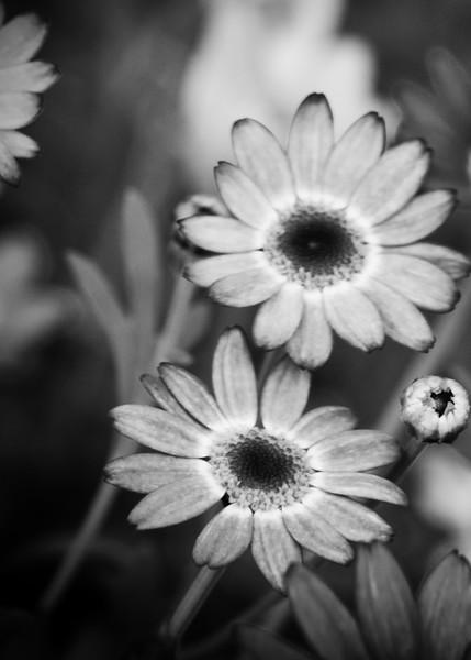 Daisy 0495.jpeg