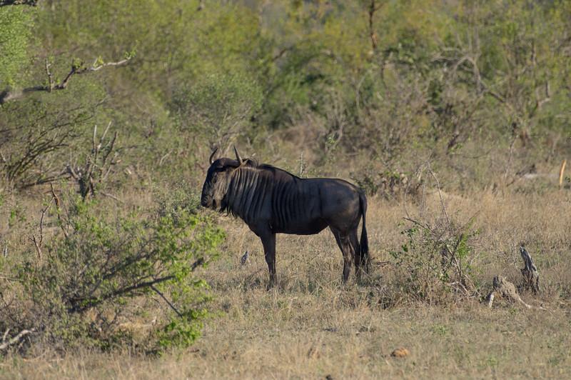gnu aka wildebeest