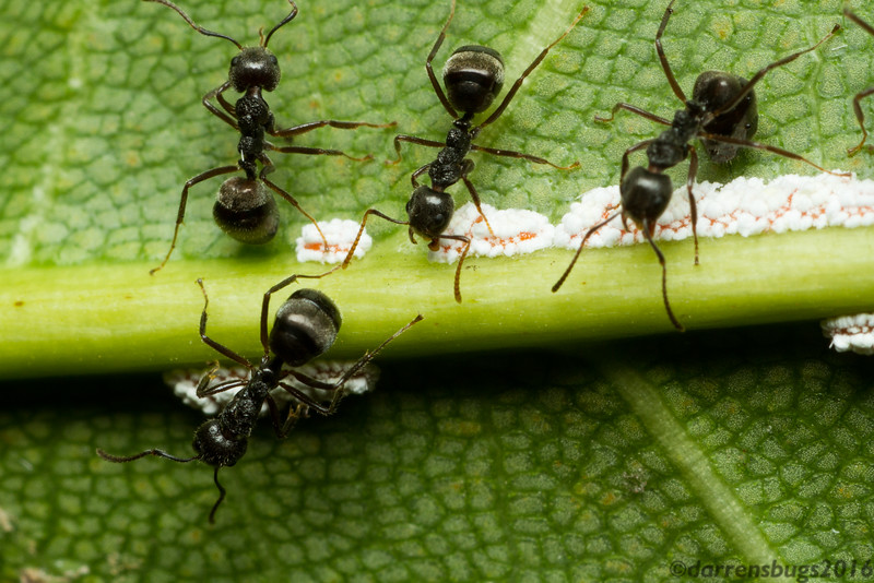 A group of ants (genus Dolichoderus) attends a colony of mealybugs, family Pseudococcidae (Chiang Mai, Thailand).