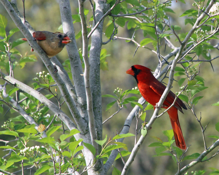 cardinal conversation 8 x 10.jpg