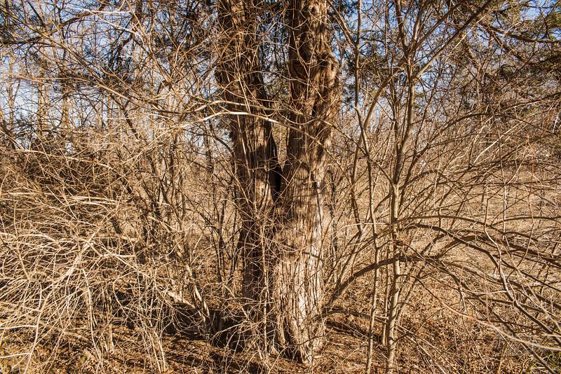 The split cedar