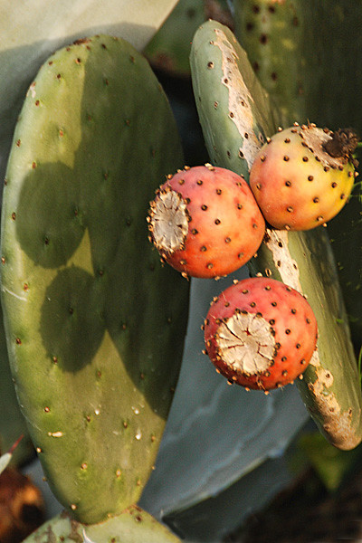RB Prickly pear 6931.jpg