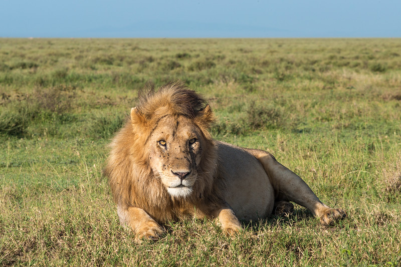 lion with flies making eye contact.jpg