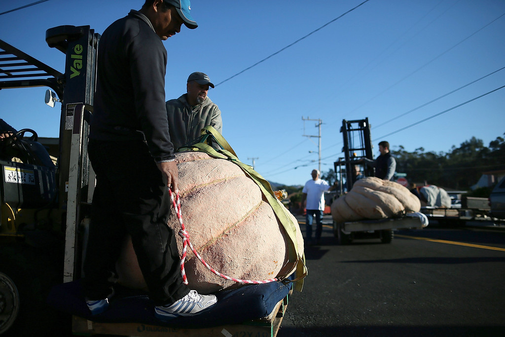 . Workers use forklifts to move giant pumpkins during the 40th Annual Safeway World Championship Pumpkin Weigh-Off on October 14, 2013 in Half Moon Bay, California.  (Photo by Justin Sullivan/Getty Images)
