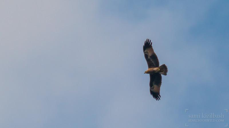 Black Kite 5.jpg